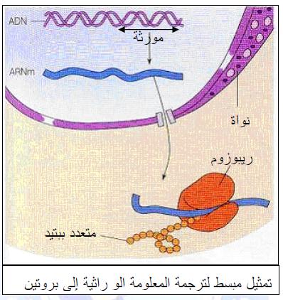درس تركيب البروتين في مادة العلوم الطبيعية والحياة للسنة الثالثة ثانوي do.php?img=10189