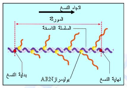 درس تركيب البروتين في مادة العلوم الطبيعية والحياة للسنة الثالثة ثانوي do.php?img=10222