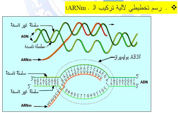 درس تركيب البروتين في مادة العلوم الطبيعية والحياة للسنة الثالثة ثانوي do.php?img=10223